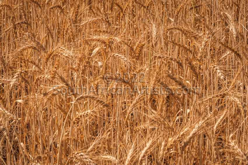 Wheat Ready for the Harvest