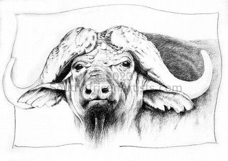 Buffalo pencil study