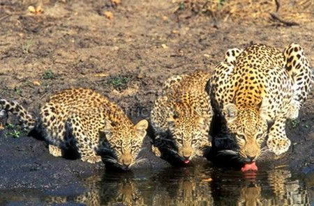Leopard & Cubs Drinking