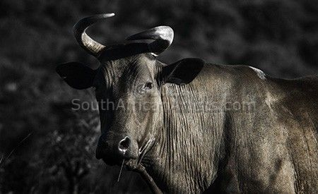 Dark Nguni Cow