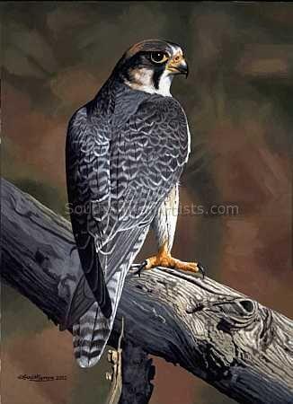 Edelvalk/Lanner Falcon