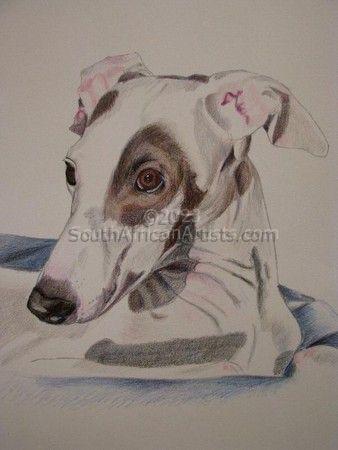 Sirocco the Italian Greyhound