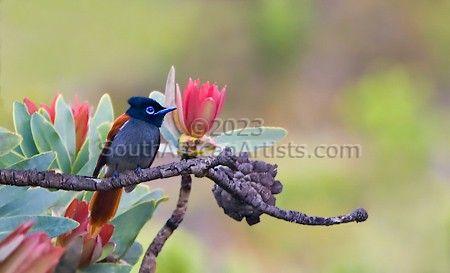 Paradise Flycatcher in Fynbos