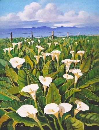 Wild Arum Lilies in the Boland
