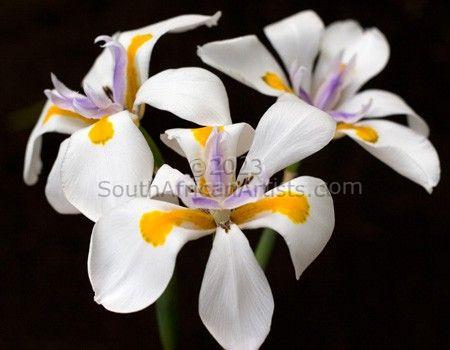 Wild Iris 1
