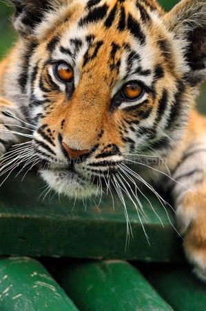 Tiger Cub #1