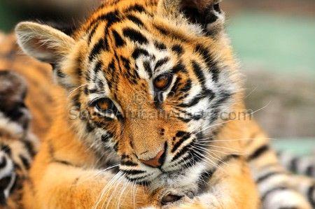 Tiger Cub #3