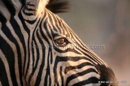 Zebra Watch
