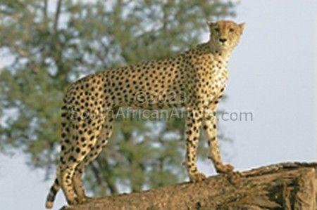 Female Cheetah Looking for Prey