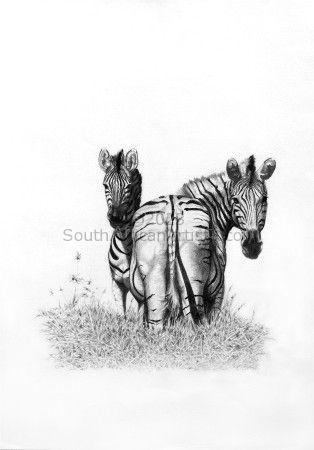 Umgeni Zebra