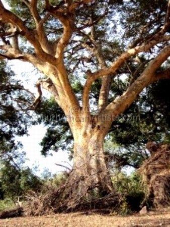 Sycamore Fig - Kruger National Park