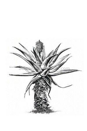 Aloe 5