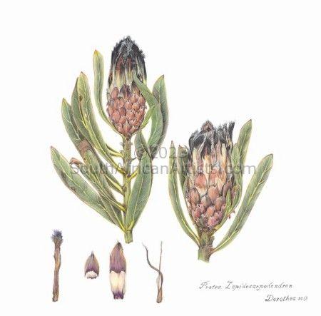 Protea Lepiocarpodendron