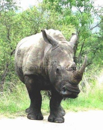 White Rhino - One of the Last!