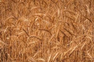 """Wheat Ready for the Harvest"""