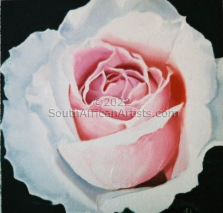 """Pink and White Rose 1"""