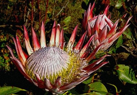 """King Protea Two"""