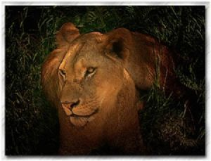 """Beautiful Lioness"""