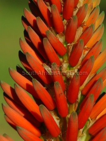 """South African Aloe"""