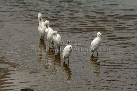 """Egrets of the Umfolozi No. 5 of 35"""