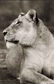 """Wild at Art Collection - Lioness"""
