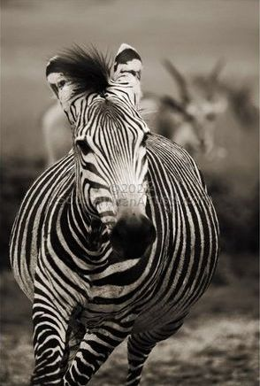 """Wild at Art Collection - Zebra"""