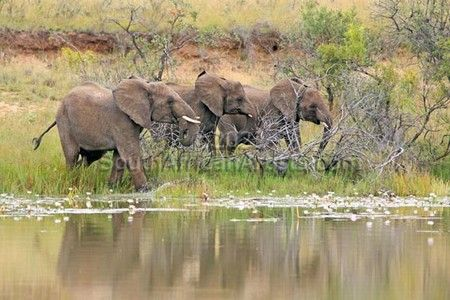 """Elephant Herd at Waterhole"""