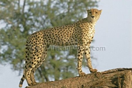 """Female Cheetah Looking for Prey"""