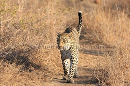 """Leopard on the Prowl"""