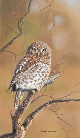 """Barred Owlet"""